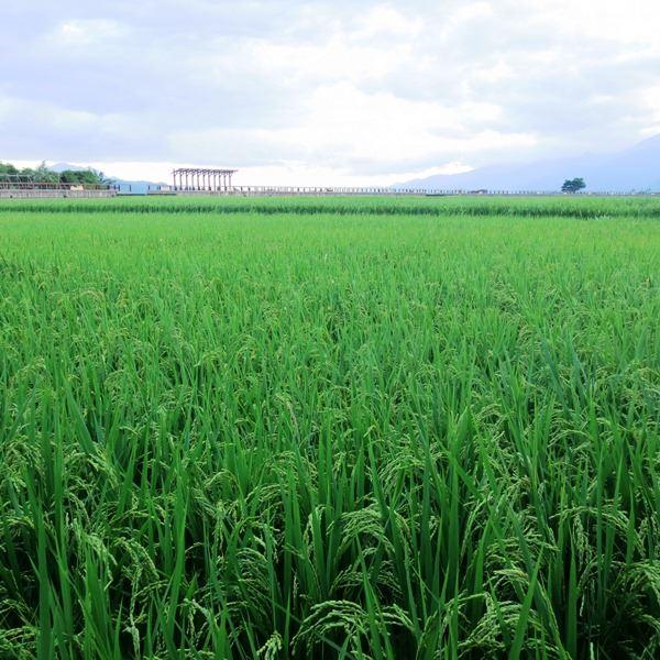 池上米好吃的秘密